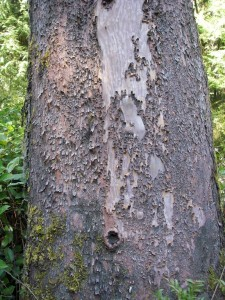 Thicker bark on a mature tree