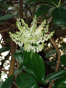 Madrone flowers