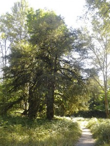 The largest Yew in Oregon at Milo McIver State Park.