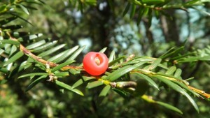 "Yews have a berry-like fruit called an ""aril."""