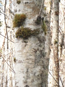 Alder bark with lichens and moss.