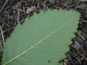 Red Alder leaves are slightly rolled under at the margins.