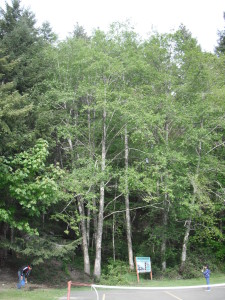 Alder trees at Camp Seymour