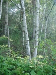 Alnus rubra trees
