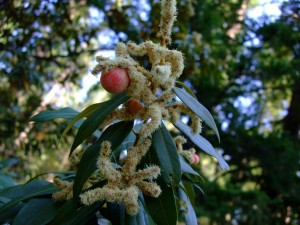 Like related chestnuts or oaks, Chinquapins will produce galls induced by small wasps.