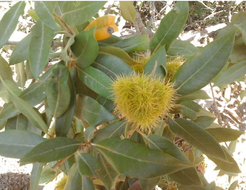 The nuts are encased in a prickly husk.
