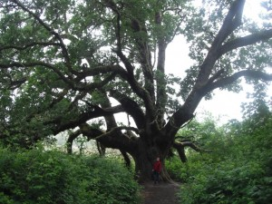 Oregon White Oak at Ridgefield Wildlife Refuge