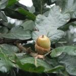 Quercus garryana acorn