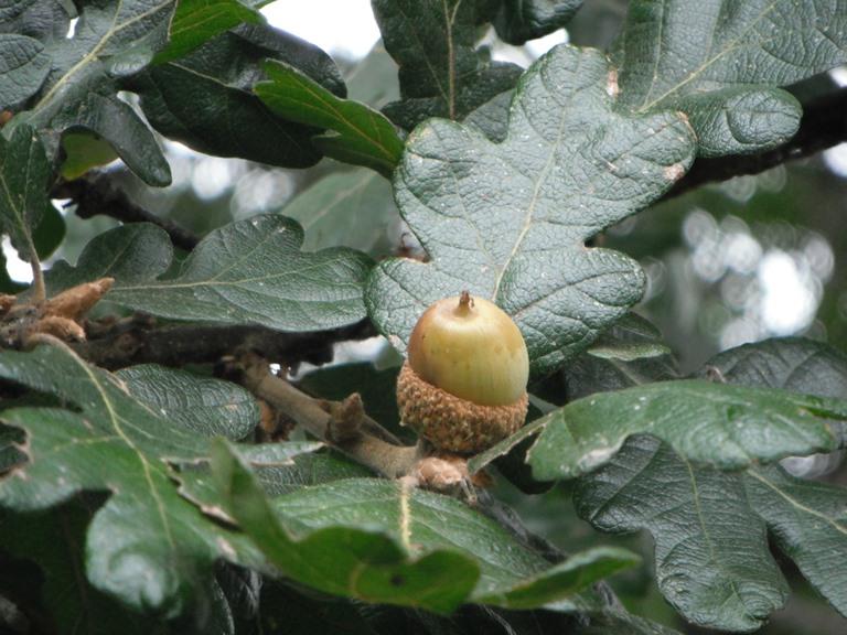 Oregon white oak quercus garryana native plants pnw