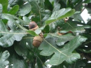 Quercus garryana acorns