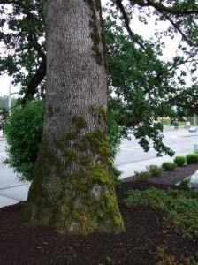 Quercus garryana bole