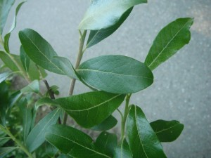 Salix hookeriana leaves