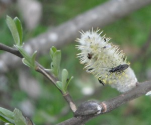Salix hookeriana pussy