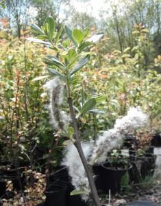 Salix scouleriana seedheads