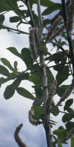 Salix sitchensis leaves