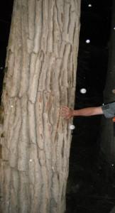 Populus trichocarpa bark