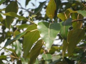 Populus trichocarpa leaves