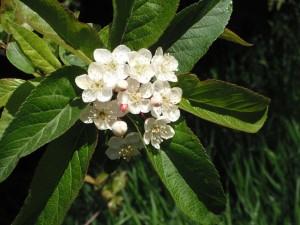Malus fusca flowers