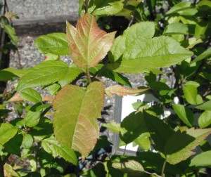Malus fusca leaves