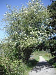 Malus fusca tree