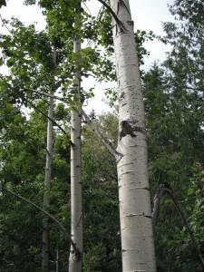 Populus tremuloides bark