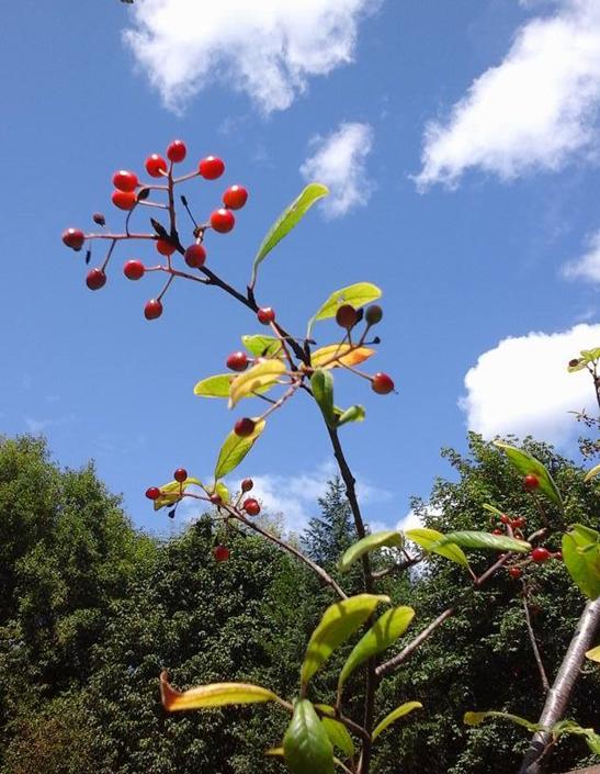 Bright Red Fruit of Bitter Cherry.