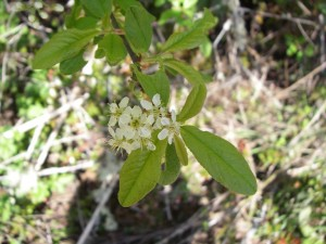 Bitter Cherry flowers and leaves