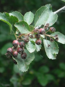 Black Hawthorn Fruit