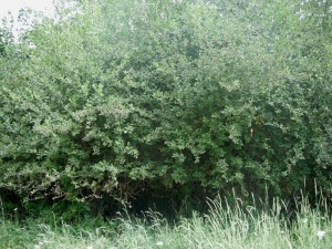 Black Hawthorns create an impenetrable hedge which is great for sheltering small birds and mammals.