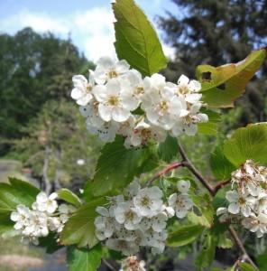 Crataegus douglasii flowers have 10 stamens.