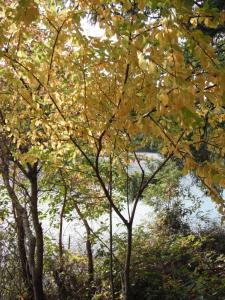 Prunus emarginata fall