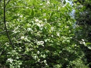 Prunus emarginata tree