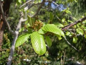 Cascara buds
