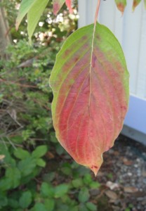 Typical parallel veining pattern of a dogwood leaf, turning red in fall.