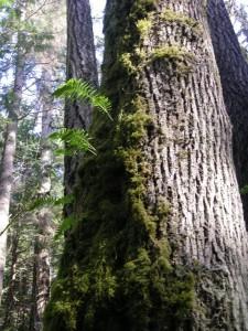 Acer macrophyllim bark