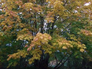 Big leaf Maple in Fall is usually yellow, but sometimes tinged with orange.