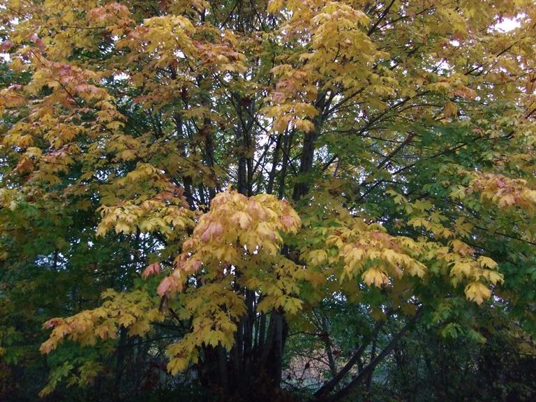 Big Leaf Maple Acer Macrophyllum Native Plants Pnw