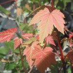 Acer glabrum leaves