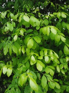 Fraxinus latifolia leaves