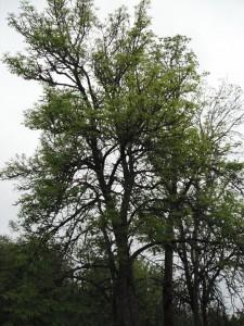 Fraxinus latifolia tree