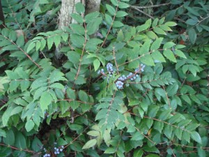 Low Oregon Grape