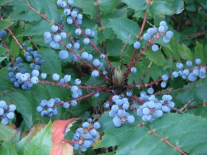 Low Oregon Grape berries