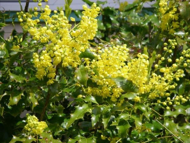 Evergreen Shrubs Native Plants Pnw