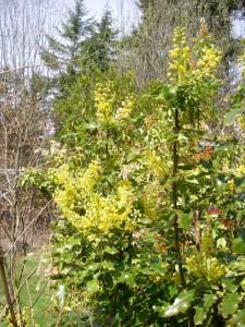 Mahonia aquifolium plant