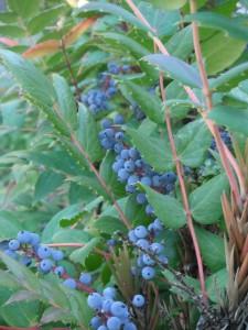 Mahonia nervosa berries