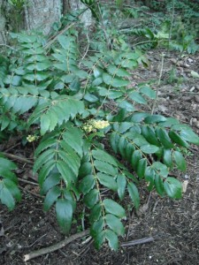 Mahonia nervosa flowers