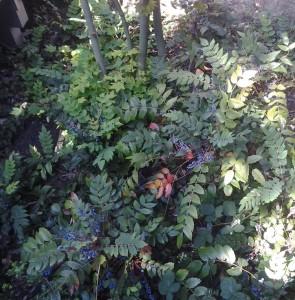 Mahonia nervosa woodland