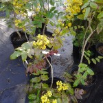 Mahonia repens in pots