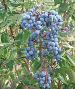 Oregon Grape berries make great jelly!