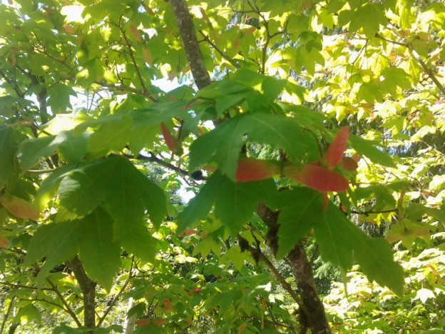 Vine Maple Acer Circinatum Native Plants Pnw